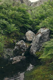 Lush green ferns and moss-covered stones near a stream in forest. Royalty Free Stock Image