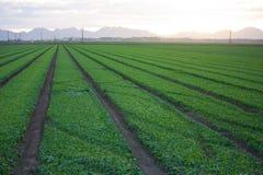 Free Lush Green Fields Near Yuma Arizona Royalty Free Stock Photography - 76300227