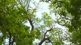 Lush green foliage, birch trees and clear sky. In the forest stock video