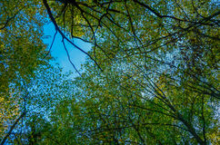 Lush green foliage, birch trees and clear sky in the forest Royalty Free Stock Photo