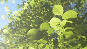 Lush green foliage filling the frame. Lush green foliage back lit by the sun on light blue background filling the frame in summer or spring stock video footage