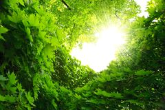 Lush green foliage of maple and sunbeams Stock Photo