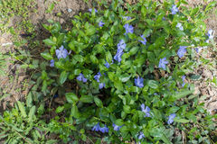 Lush green foliage and pale violet flowers of periwinkle Royalty Free Stock Image