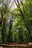 Lush, green foliage in the summer forest. Crimean, beech forest royalty free stock image
