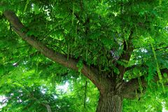 Under lush green leaves of a tree crown at summer Royalty Free Stock Images