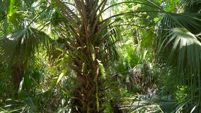 Lush green foliage in tropical jungle. Palm trees leaf at Jungle background. Lush green foliage in tropical jungle. Tropical Rainforest, Florida. Sun shines stock video