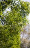 Lush green foliage of willow. Lush green foliage of trees in early summer royalty free stock image