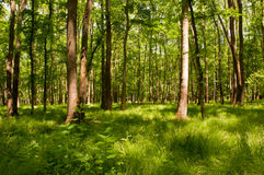 Lush green forest. Dreamlike forest image with light rays and green grass Royalty Free Stock Photos