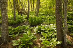 Lush Green Forest Bog in Spring Stock Photos