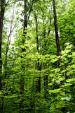 Lush Green Forest. Dark green vibrant forest scene with leaves and wilderness growth amidst the lush vegetation Stock Image