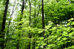 Lush Green Forest. Dark green vibrant forest scene with leaves and wilderness growth amidst the lush vegetation Royalty Free Stock Image