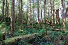 Lush green forest at Hot Springs Cove near Tofino, Canada Royalty Free Stock Photo