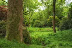 Lush green forest woodland Royalty Free Stock Image