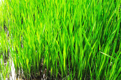 Lush green  grass. Some lush green blades of grass Royalty Free Stock Images