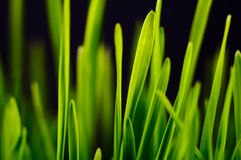 Lush green grass. Soft green grass on black background Royalty Free Stock Images
