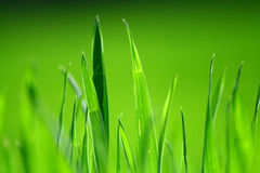 Lush green grass. Some lush green blades of grass stock photos