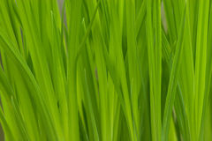 Lush Green Grass. Lush spring bright and saturated green grass background royalty free stock photos