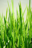 Lush green  grass background. Some lush green blades of grass Royalty Free Stock Image