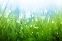 Lush green grass background. With shining drops of dew in the morning Stock Photos