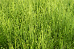 Lush Green Grass Royalty Free Stock Photos
