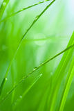 Lush green grass with dew Royalty Free Stock Image