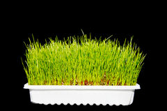 Wheatgrass wheat grass Royalty Free Stock Image