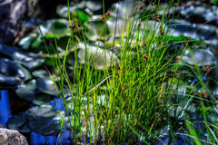 Lush green grass. Some lush green blades of grass Stock Photography