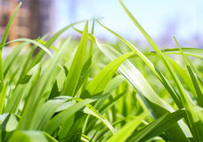 Lush green grass. In spring time Royalty Free Stock Photography
