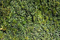 Lush green hedge. Close up of lush green hedge growth Stock Photos