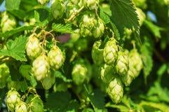 Lush green hops Royalty Free Stock Image