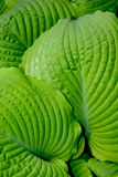 Lush green hosta leaves Royalty Free Stock Photography