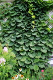 Lush green ivy creeping up trellis Stock Photography