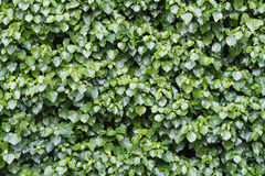 Lush and green ivy, Hedera helix, at a wall, background texture Stock Images