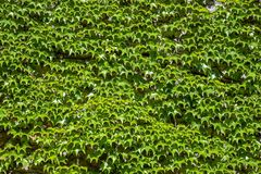 Lush green ivy wall for texture. Abstract background royalty free stock photography
