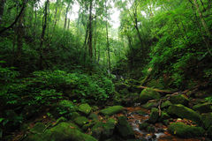Lush green jungle. Lush and green forest with a creek and moss stone Stock Image