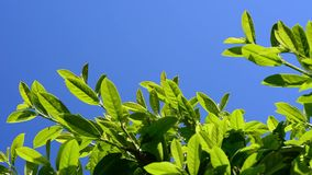 Lush green laurel hedge blowing in the wind. stock video footage