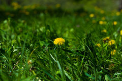 Lush green lawn with dandelion Stock Photo