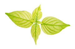 Lush green leaf Stock Image
