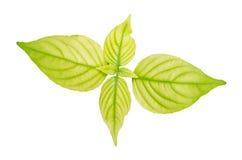 Lush green leaf Stock Image