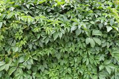 Lush green leafage of five-leaved ivy Royalty Free Stock Photo