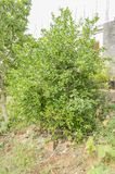 Backyard Key Lime Tree. Lush green leafy backyard key lime tree with unripe fruits among its green leaves. On the ground and around the root of the tree is royalty free stock images
