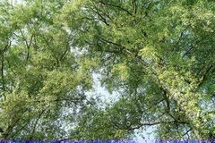 Lush green leafy trees close-up for nature backgrounds. Stock Photo