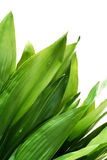 Lush green leaves. Photographed on white background (no post work isolation Royalty Free Stock Image