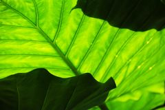 Lush Green Leaves Stock Images