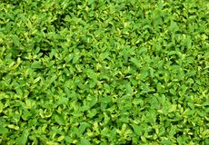 Lush Green leaves for  background Royalty Free Stock Photos