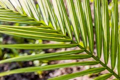 The lush green leaves of a fan-shaped plant Royalty Free Stock Photo