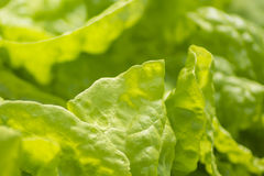 Lush green leaves of fresh lettuce Royalty Free Stock Photography