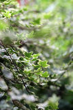 Lush green leaves - Series 3 Royalty Free Stock Photography