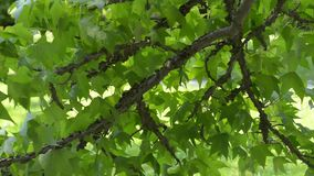 Lush green leaves in the wind. In the park stock video