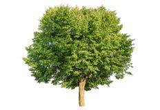 Lush linden tree isolated. Lush green linden tree isolated on white Stock Images
